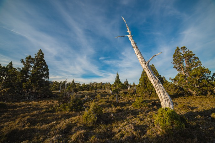 Dead Pencil Pine Cradle Mt NP