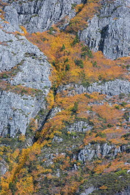 Fagus on cliff