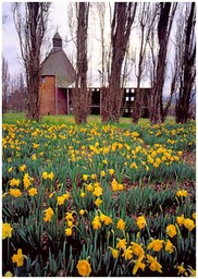 hop_kiln_and_daffodils