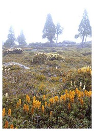 pines-and-scoparia-in-mist