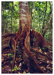 rainforest_tree