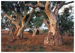 Red-River-Gums